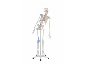 Skeleton Max With Movable Spine Muscle Markings And Ligaments