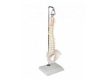 Miniature Spinal Column On Hanging Stand