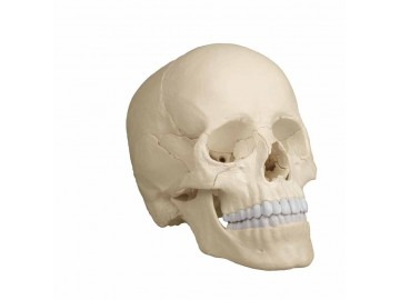 Osteopathic Skull Model 22-part Anatomical Version